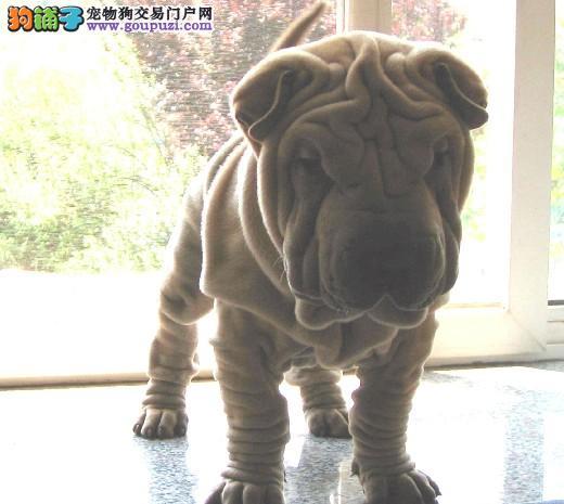乐东超可爱的沙皮幼犬 适应能力强 血统纯正 聪明好训