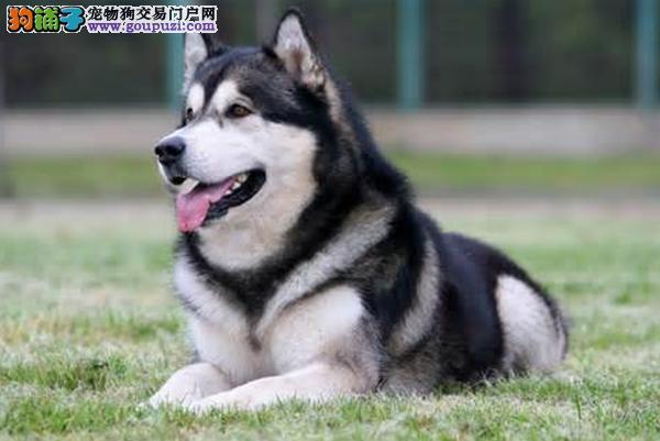 阿拉斯加犬的特点有哪些是大家不知道的5