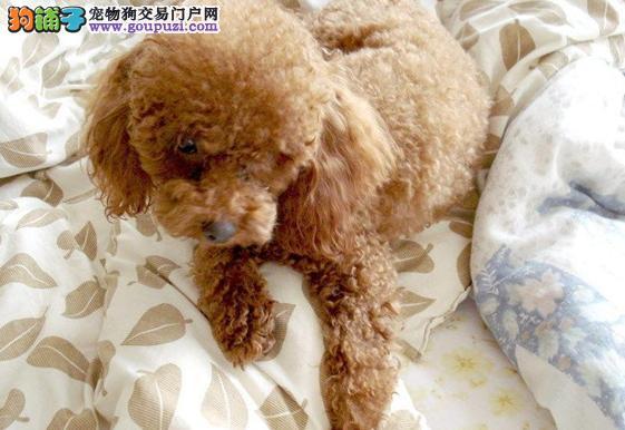 告诉你品相好的泰迪犬应该是什么样的