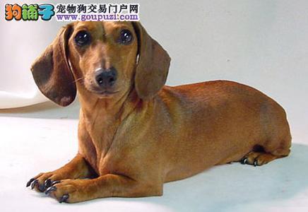 选购手册之腊肠犬种类繁多挑选须谨慎