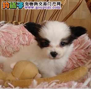 蝴蝶犬 蝴蝶犬多少钱 蝴蝶犬哪里买 蝴蝶犬舍4