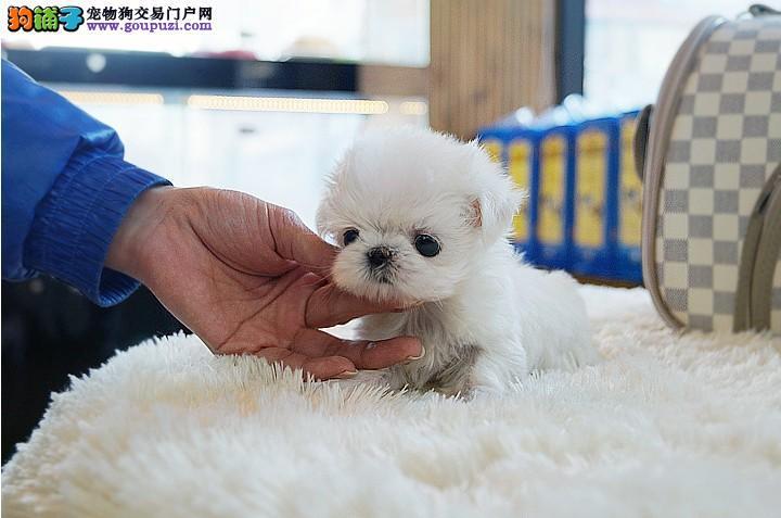 纯种马尔济斯犬幼犬CKU血统证书 保证健康保证纯种
