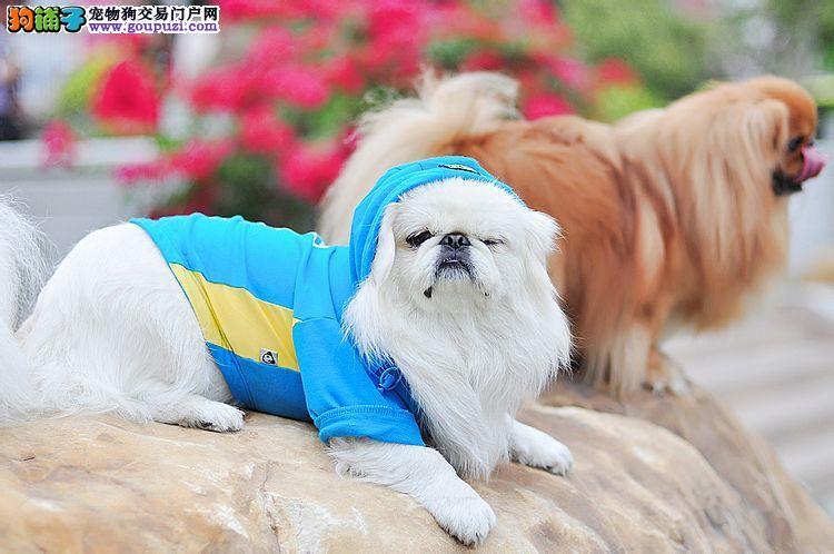饲养京巴犬期间会遇到哪些疑问