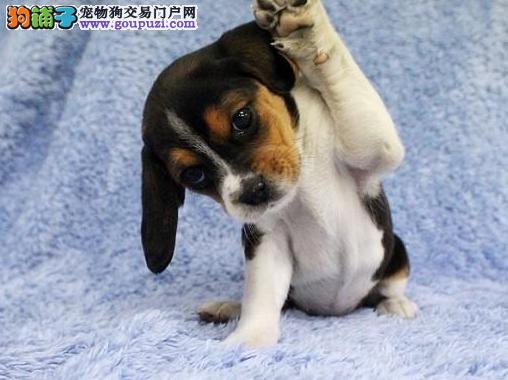 乌鲁木齐比格犬签协议出售 买纯种比格犬质保终身可退换