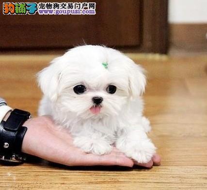 马尔济斯犬出售 保纯保健康 疫苗驱虫已做 可签协议