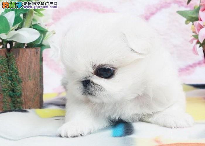 可爱京巴小幼犬健康 纯种有保障