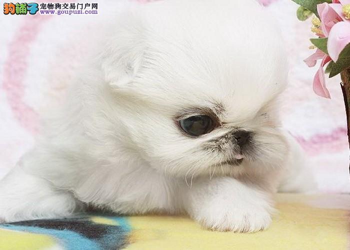 哪里有京巴犬出售 纯种京巴幼犬哪里能买到