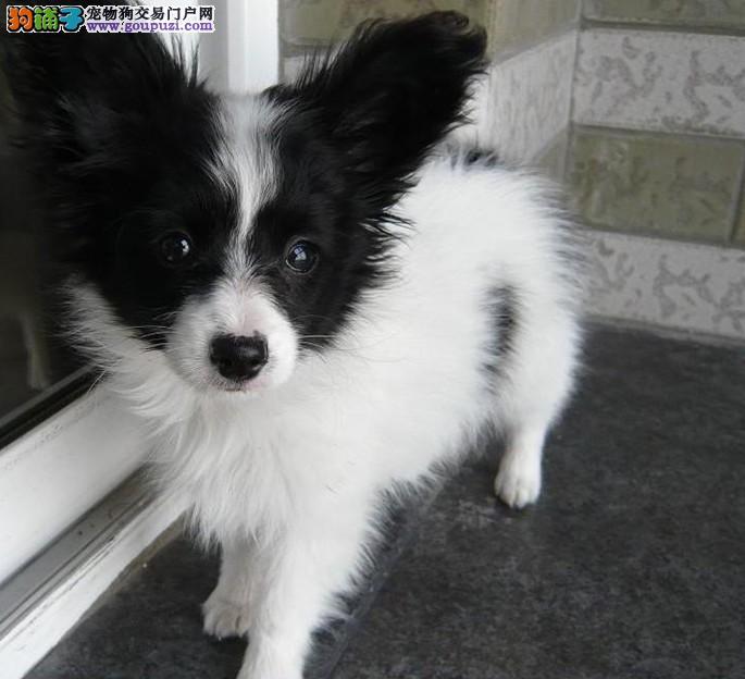CKU认证蝴蝶犬出售,驱虫疫苗已做,签署购犬协议