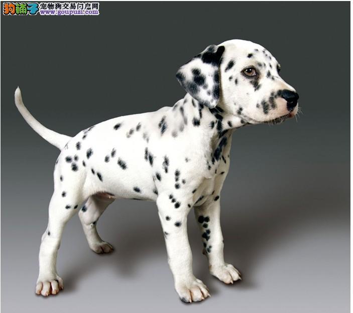 正规犬舍出售高品质斑点狗,价格合理。可签证