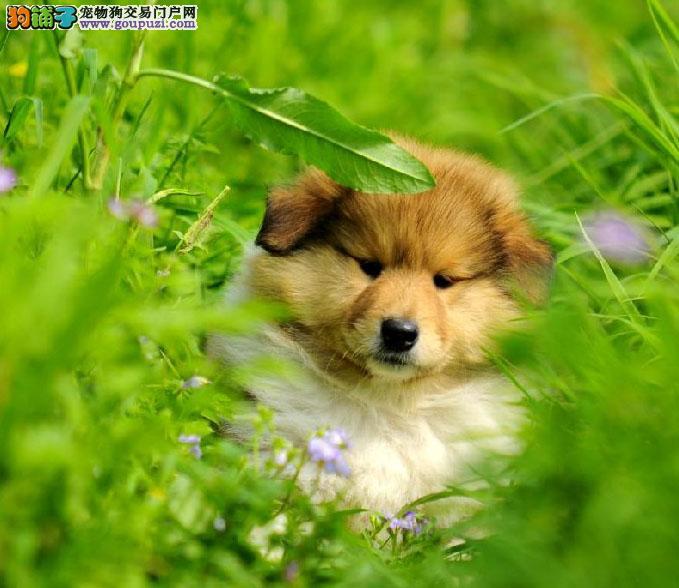 北京苏格兰牧羊犬出售中 小苏牧幼犬非常可爱帅气聪明