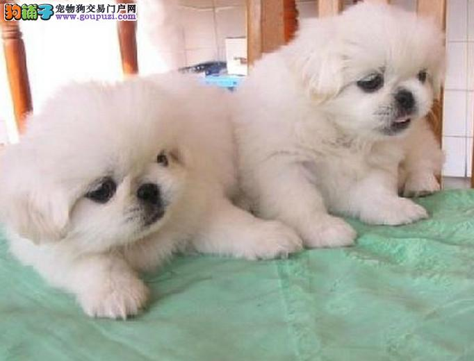 聪明可爱的京巴犬多少钱一只多窝挑选健康纯种欢迎选购