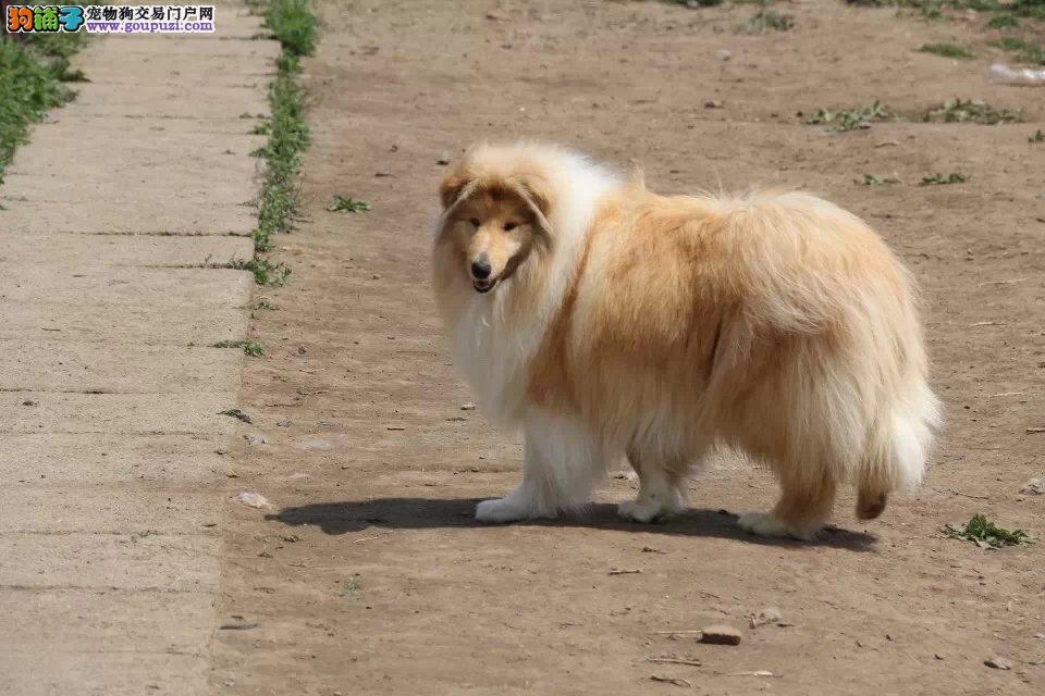 纯种苏格兰牧羊犬 赛级血统品相完美品质绝对保障