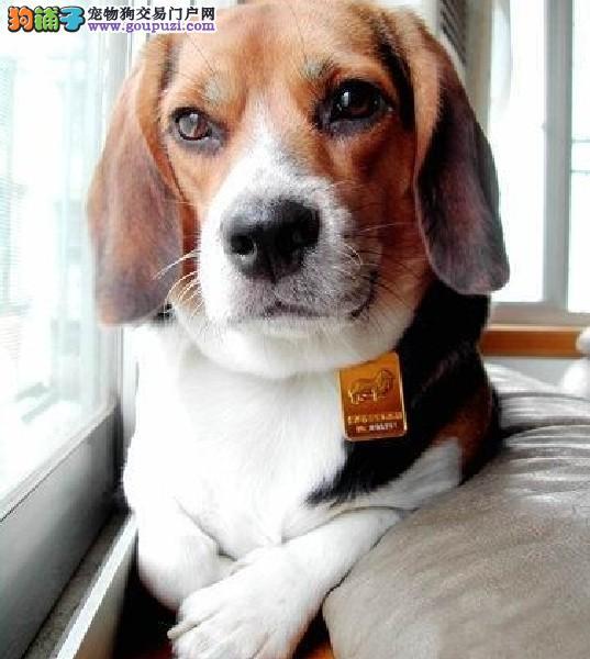 郑州繁殖基地出售多种颜色的比格犬欢迎爱狗人士上门选购