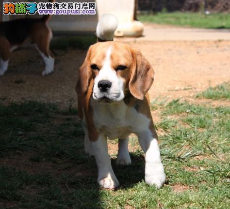 北京冠华名犬 赛级比格宝宝疫苗驱虫已做保纯种保健康