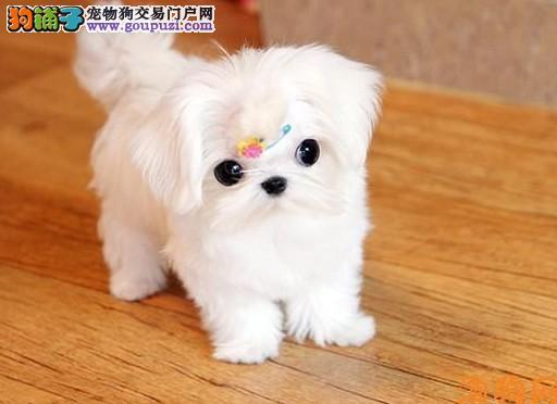 出售纯种的漂亮的马尔济斯幼犬 可上门选购2