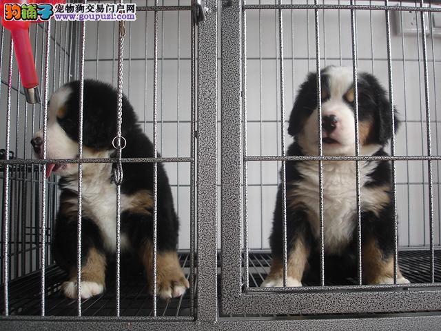 成都市伯恩山犬出售 可视频看狗疫苗齐全全国包邮