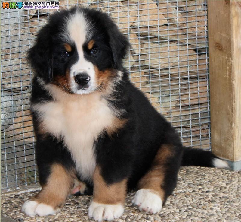 出售威玛猎犬伯恩山犬波音达犬哪里有卖加纳利卡斯罗犬