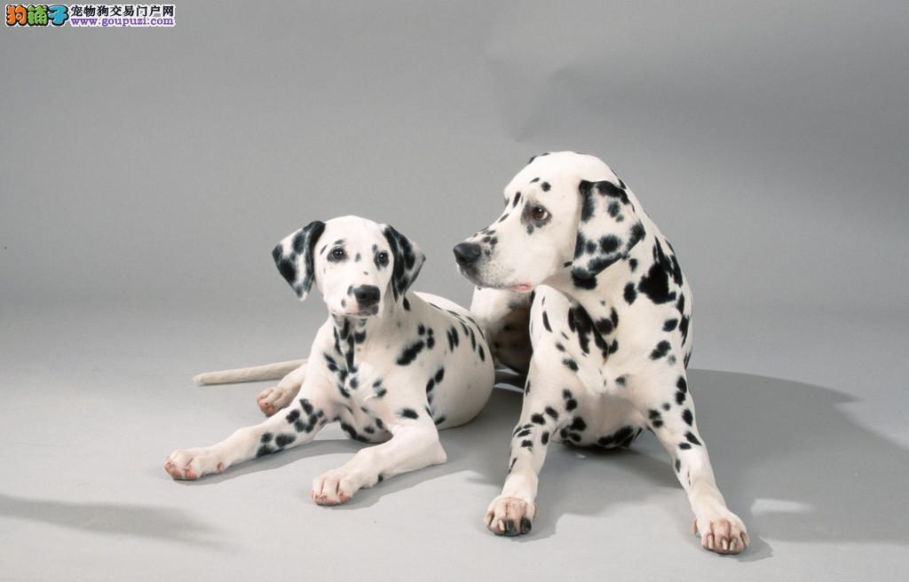 重庆出售纯种斑点狗数量有限本地可送上门