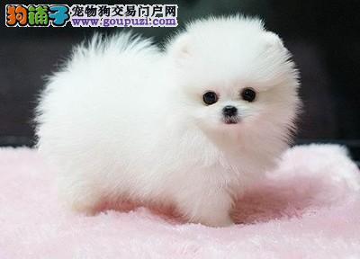 南京哪里有茶杯犬出售 纯种茶杯犬 长不大的狗狗