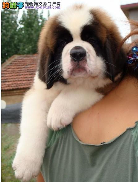 深圳狗场出售来自古希腊血统的圣伯纳犬,圣伯纳幼犬1