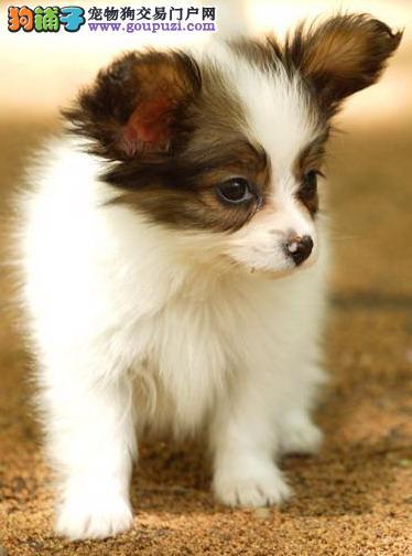 文明养犬 如何成为时尚优秀的蝴蝶犬主人