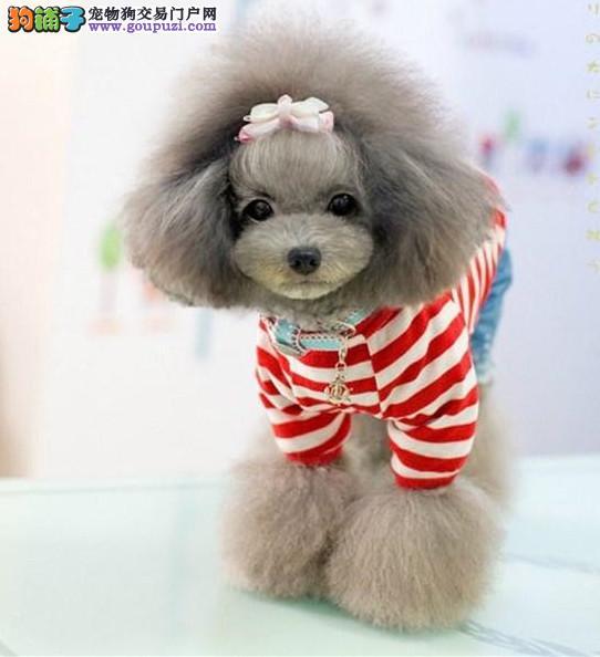 金昌正规犬舍直销纯种泰迪犬欢迎来看泰迪熊拒绝星期狗