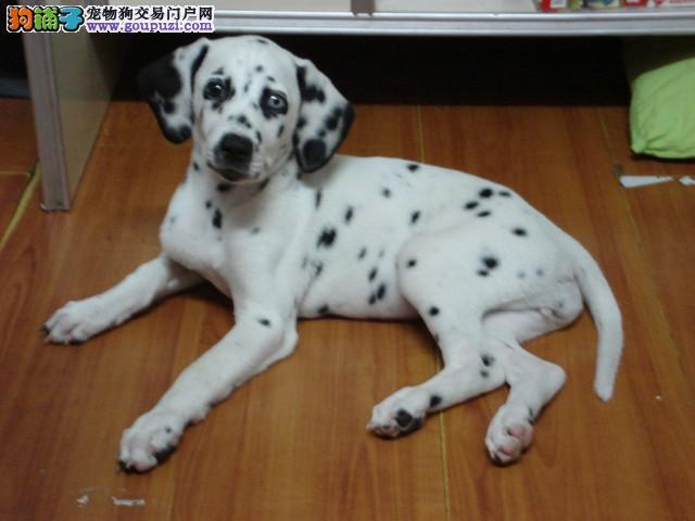 终身保纯种、签订协议、斑点犬
