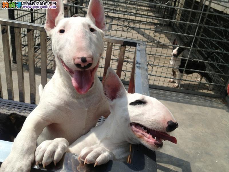 极品牛头梗幼犬、假一赔十价位最低、签订正规合同