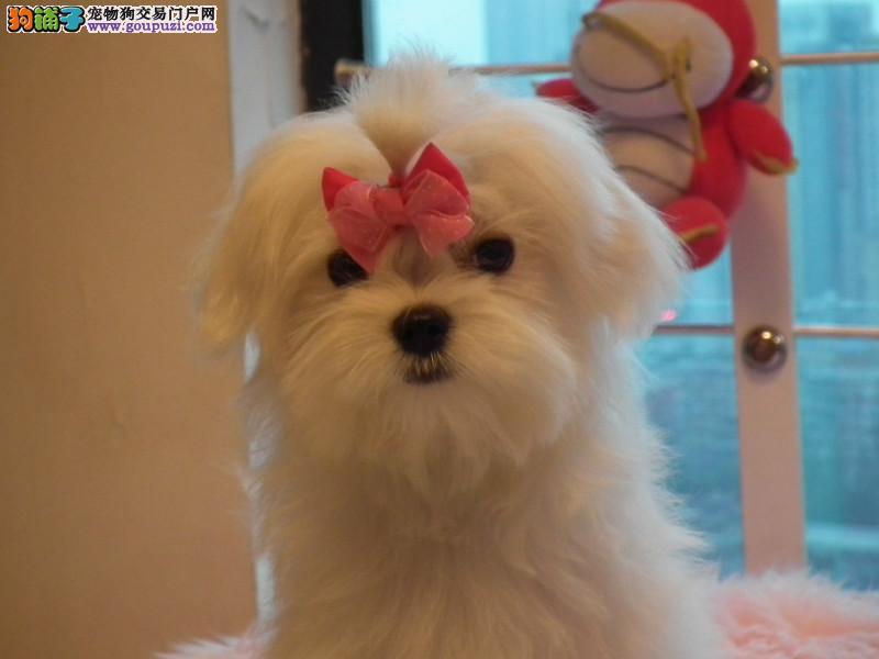 犬舍出售马尔济斯犬 最高贵的血统漂亮的小型犬品质好