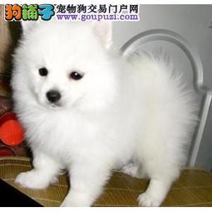 出售纯种日本银狐犬,包品质包健康,欢迎放心挑