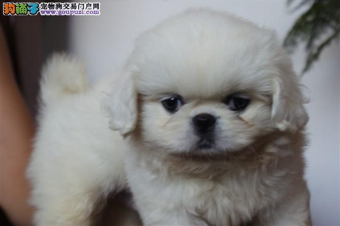 纯种犬京巴大展示~~ 可上门看狗