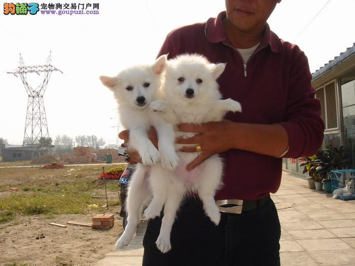 出售纯种尖嘴银狐幼犬价健康保证 诚信保证