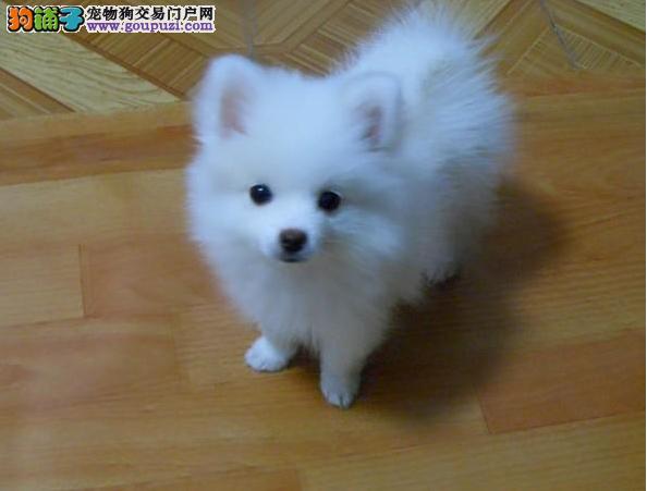 银狐图片 广州哪里有卖银狐 广州哪里有卖狗的地方