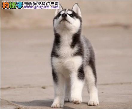 诚信为本上海专业犬舍出售纯种三把火哈士奇 身体健康