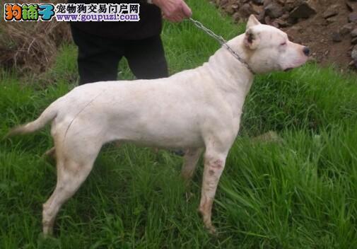 金华市售阿根廷杜高犬幼犬 优良杜高犬多窝待选