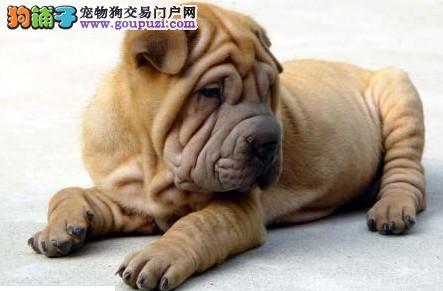 重庆高品质沙皮狗幼犬血统纯正 体型完美聪明好训练