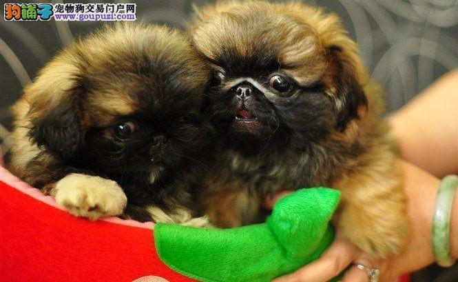 郑州古老漂亮的宫廷犬种京巴犬宝宝出售