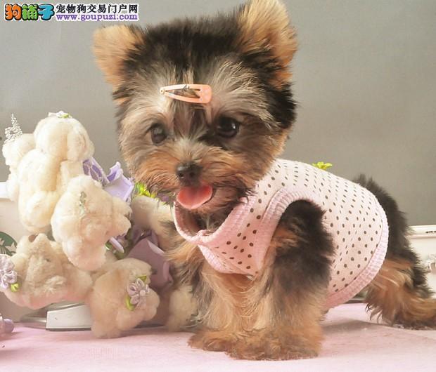 南京金头银背小体约克夏幼犬可微信视频可看父母可送狗