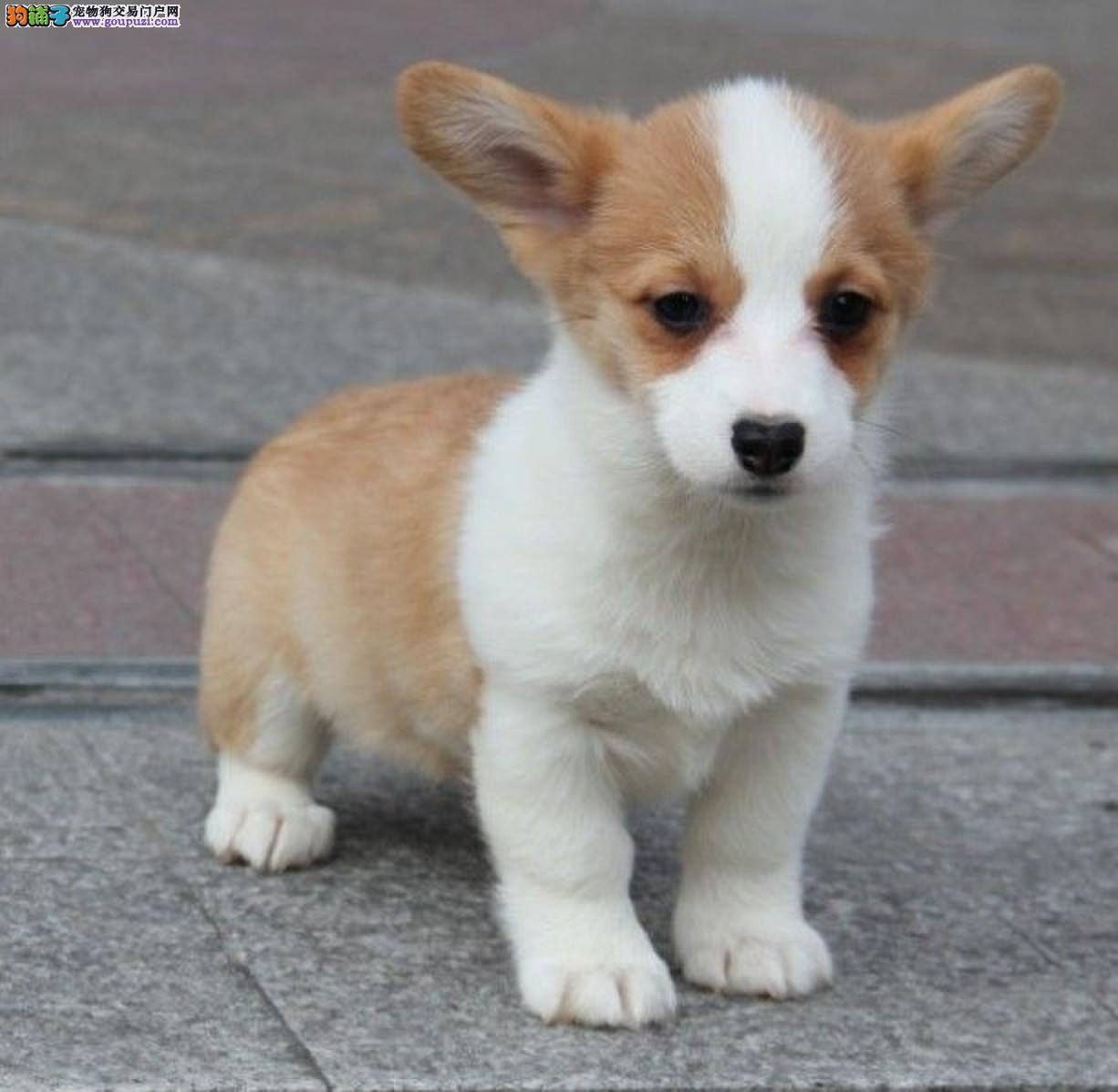 北京售小短腿柯基犬幼犬家庭繁殖纯种健康可上门看父母