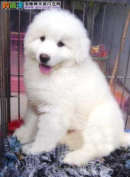 广州市出售特价大白熊犬 比利牛斯山犬