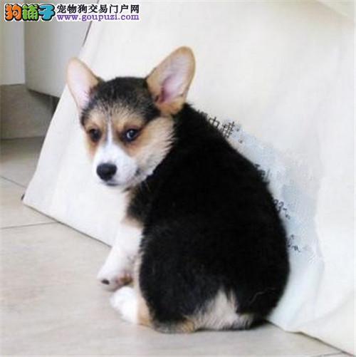 犬舍直销品种纯正健康无锡柯基CKU认证绝对信誉保障