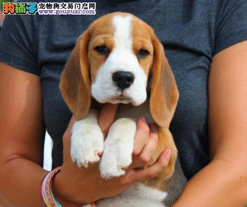比格犬幼崽出售中,一宠一证视频挑选,诚信经营保障