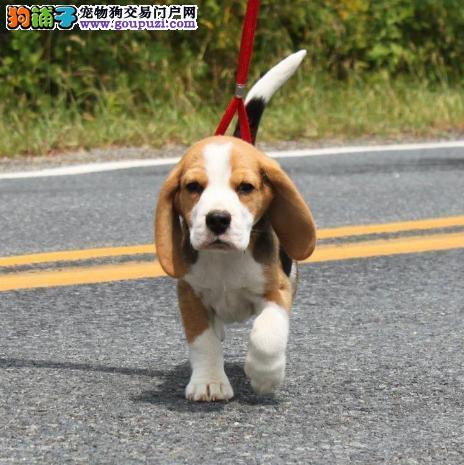 长沙市出售比格犬宝宝 公母都有 终身质保 可视频看狗