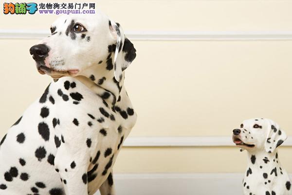 给自家斑点狗找新家疫苗已做保证健康3