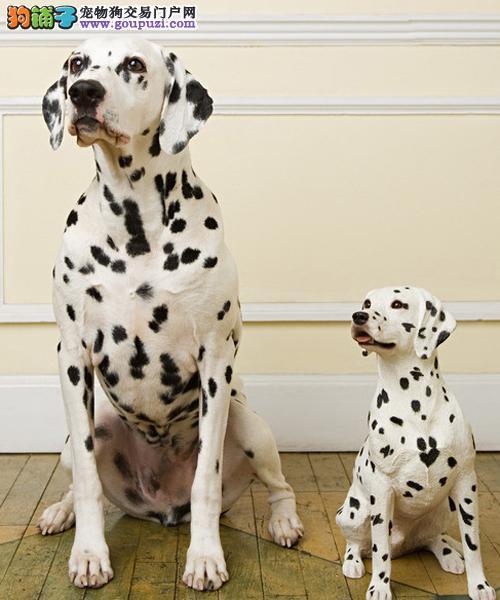 颜色全品相佳的斑点狗纯种宝宝热卖中期待您的来电咨询1