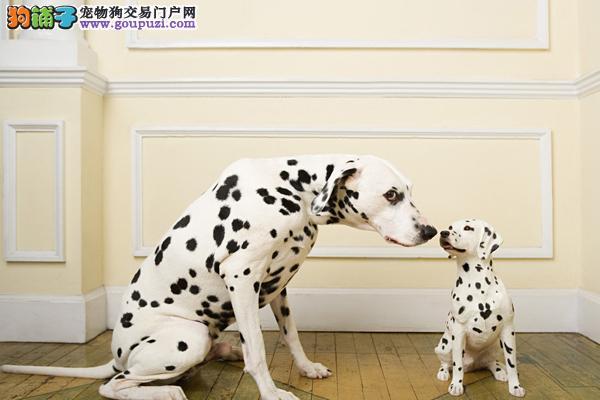 浙江沪宠物狗 纯种斑点犬 大麦町犬幼犬带证书CKU血统