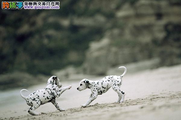 纯种赛级斑点狗,CKU认证保健康,提供养狗指导