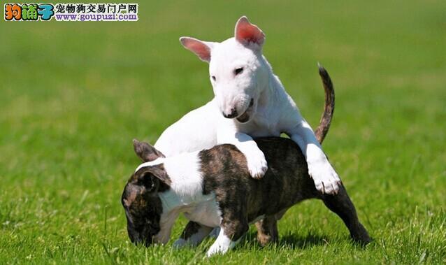 大型养殖狗场纯白色海盗眼牛头梗犬均有出售文昌牛头梗