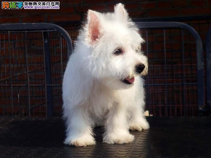 专业犬舍售品质优良纯血统西高地犬三针做完签合同