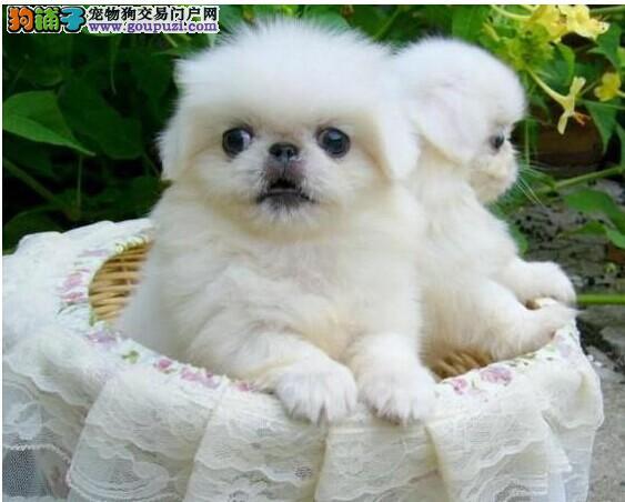 纯种京巴犬幼犬 高品质低价格公母都有疫苗已做完